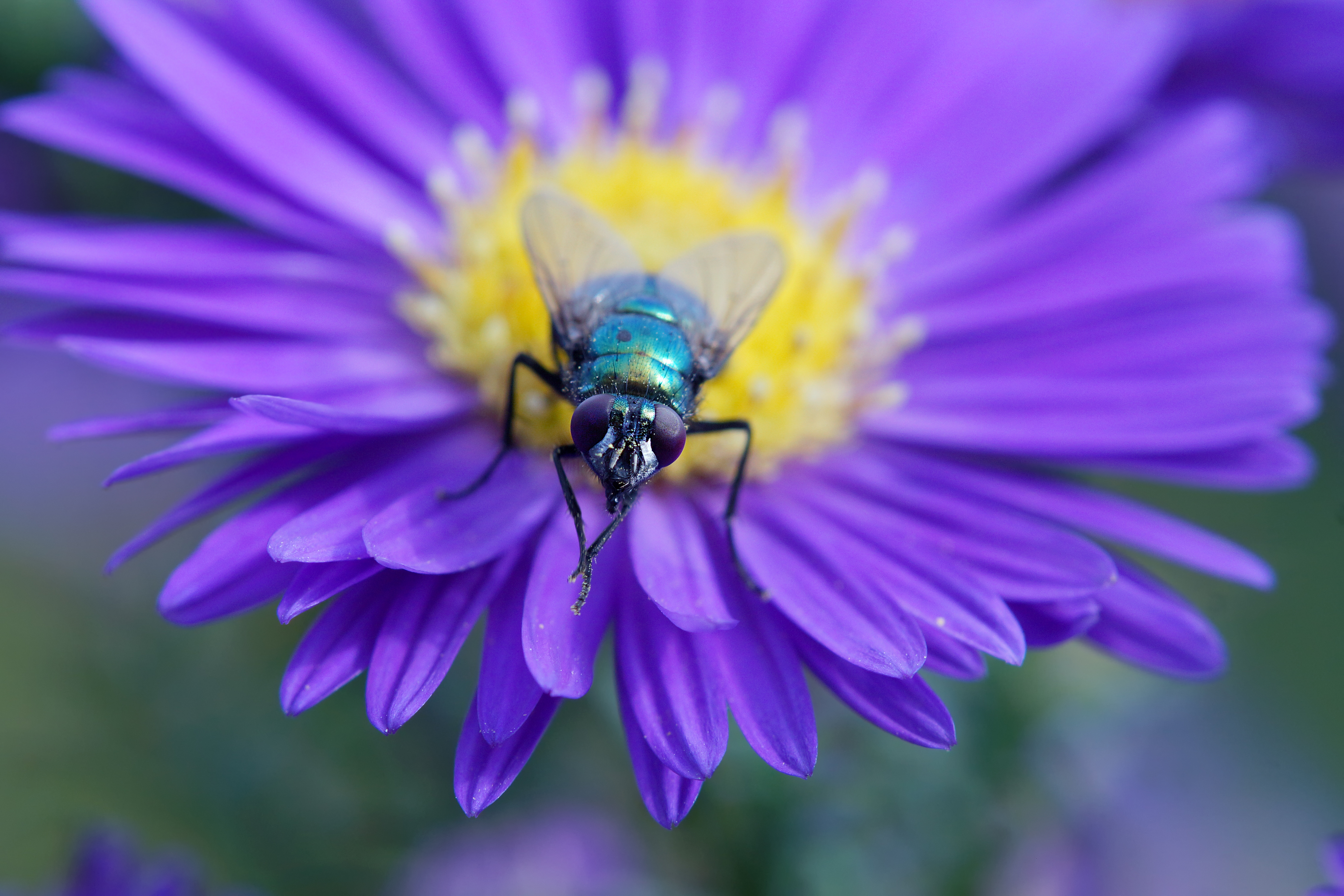 Fly on purple aster